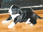 ****ONLINE EMBARGO - 00.01 WEDNESDAY 12TH AUGUST 2015**** PIC BY MERCURY PRESS (PICTURED: YOGI THE DOG AS A PUPPY) A granny was left 'in the dog house' when she told her husband they had adopted a Jack Russell – only for the puppy to grow into one of the biggest dogs in the UK. Grandmother-of-four Sue Markham fell in love with 1lb 15oz puppy Yogi but husband Robert, both 57, had said he didn't want a 'big dog'. So Robert was left stunned when the 'Jack Russell' didn't stop growing and turned into a 15-stone monster – who chomps his way through £37 worth of food every week. Yogi, known in the village as 'Bear' due to his size, turned out to be a Boston Great Dane that now has his own three-acre paddock for exercise and wears an outdoor horse coat since he was too big for any designed for dogs. SEE MERCURY COPY