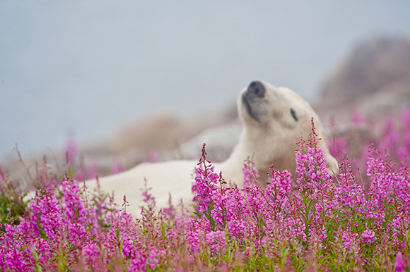 PIC BY DENNIS FAST/MERCURY PRESS (PICTURED: THE POLAR BEAR HAS A LITTLE LIE DOWN IN THE FIREWEED PLANTS ON AN ISLAND OFF THE HUDSON BAY OF CANADA) This polar bear has been watching The Jungle Book too often as this series of stunning photographs captures him kicking back and relaxing in a bed of flowers – and trying a few. Just like the Bear Necessities as sung by Disney favourite Baloo, this polar bear forgot about his worries and his strife – by lounging around with his legs in the air on this island in Hudson Bay, Canada. The pictures were captured by granddad-of-two Dennis Fast, 72, on a tiny 1km wide island who claims he had to pinch himself when he saw the bear playing. The retired teacher had to meticulously plan the shoot for YEARS as due to the island being so small it could result in an over-eager photographer having no escape if a bear turned aggressive. SEE MERCURY COPY